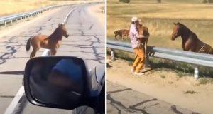 Mannen ser et føll fanget på motorveien. Når han griper inn er morens reaksjon uvurderlig.