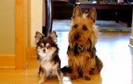 De blir spurt hvem av dem som bæsjet på kjøkkenet. Det hunden til høyre gjør da er uslåelig.