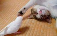 Ingen trodde på at fuglen vekket katten deres på denne måten. Så fikk de endelig filmet det.
