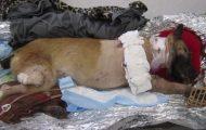 Hunden reddet livet til flere soldater. Hva de gjør for henne nå er utrolig.