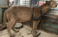 Sirkusdyret var lenket fast i en bil i 20 år. Her tar han sine første steg mot frihet.