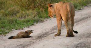 Reven tror at løvinnen skal drepe ham. Men når hun bøyer seg ned er det ikke for å spise den.