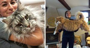 En samling løver og tigre som utgir seg for å være katter. (Neida.) Disse kattene er GIGANTISKE.