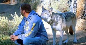 En ulv sniker seg opp bak mannen, men se hva som skjer når han snur seg rundt.