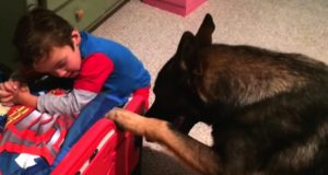 Schäferhunden tror han er en barnepike… Han putter til og med gutten til sengs.