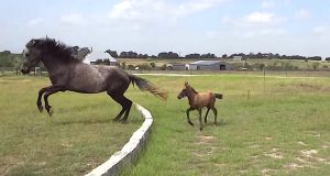 Den lille hesten klarer ikke gjøre dette hoppet. Så se hva mammaen hans gjør…