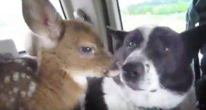 Når en hund møter en skremt rådyrkalv, gjør han denne søte tingen.