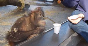Denne orangutangen reagerer på et trylletriks på en måte jeg ikke trodde var mulig.