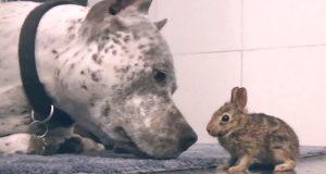 Pitbullen finner en søt, liten kanin. Hva han gjør med sin nye baby er hjertesmeltende.
