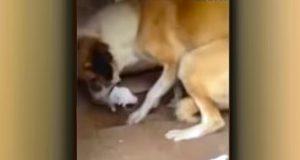 Den syke, gravide løshunden holder en valp i munnen. Men se hva denne soldaten så gjør.