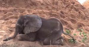 Babyelefanten ble utstøtt av flokken sin – men se hvem som kommer til unnsetning!