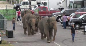 Fire elefanter vandrer mot friheten, men se én gang til på ansiktene deres… Dette er nydelig.