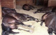 Hun finner 7 store hester sovende i en bitteliten låve. Følg med når hun skrur på kameraet!