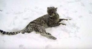 Denne geparden opplever sin første snø noensinne… Men se nå hvem som kommer for å leke.
