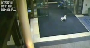 Et overvåkingskamera fanget en hund snike seg inn på et sykehus. Bare følg med på hvor hun går…