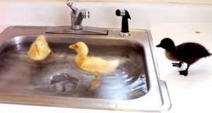 Reddede andunger tar sin første svømmetur i kjøkkenvasken, og jeg er forelsket.