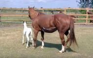 Det er hoppeføllets første dag ute. Hold et øye med hestene på andre siden av gjerdet.