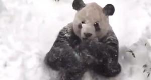 Se video: Den store pandaens reaksjon på snøstormen går som en farsott på nettet.