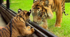 Se øyeblikket der to tigerunger møter en voksen tiger for første gang – dette er bare helt herlig.