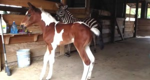 Hun har aldri møtt en zebra før. Når hun ser bak seg? Her triller lattertårene!