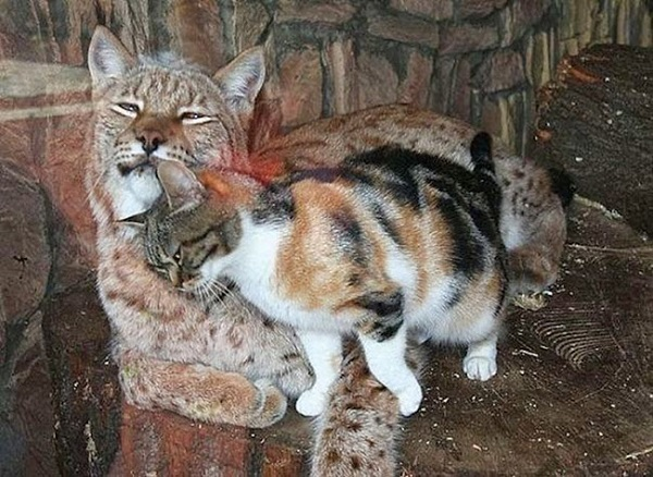 katt-gaupe3