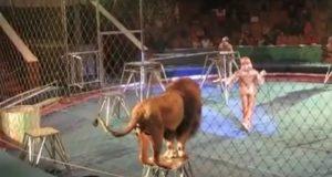 Denne løven var LEI av å bli stukket og skubbet av treneren. Så han tok saken i sine egne labber…