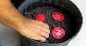 Han tar noen skiver tomat og legger dem i komposten. Ti dager senere? WOW! Jeg ante ikke dette.