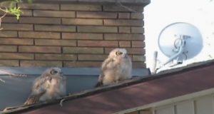 To ugler sitter på et tak. Se nå, hva den onde j***len til høyre gjør…