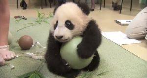 Babypandaen nekter å slippe favorittleken sin. SE reaksjonen hans når de prøver å ta den vekk.