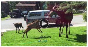 Elgfamilien oppdager et sprinkleranlegg. Det neste som skjer er UBETALELIG.