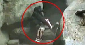 En 3 år gammel gutt falt 6 meter ned i en gorilla-innhegning. Det neste som skjedde? Utrolig.
