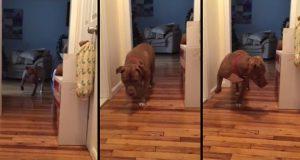 Få med deg denne pitbullen som lister seg nedover gangen fordi den er fullstendig livredd for katten.