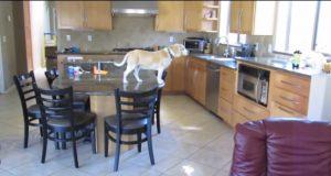 Det denne sniken av en hund gjør når den er alene hjemme, er helt genialt.