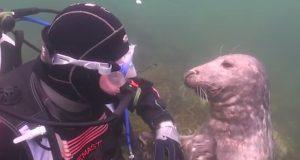 Vill sel ber mennesket om å bli klødd på magen og viser hvorfor seler er kjent som «sjøens hunder».