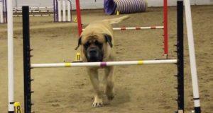 Denne store engelske mastiffen er med i en konkurranse, og det han gjør får alle til å heie.