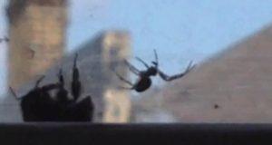 En humle fanget i et spindelvev var sjanseløs… Helt til en annen humle kom og gjorde DETTE.