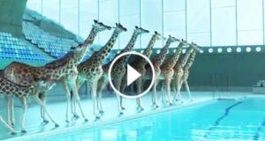 Når ingen så på, gikk disse sjiraffene inn i en svømmehall og gjorde DETTE.