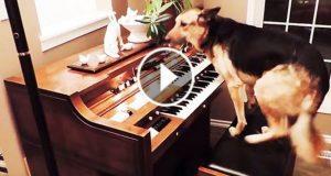 Når en reddet hund hopper opp til pianoet, følg med på labbene hans… Dette er UVIRKELIG.