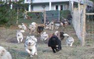 Mann adopterer 45 hunder og bygger en 16.000 kvadratmeter stor innhegning hvor de kan løpe fritt.