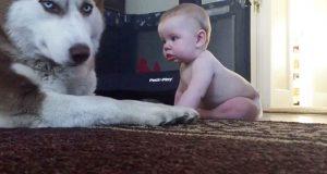 Huskyen leker tøff, men i det øyeblikket babyen strekker seg bort, kan han ikke motstå sin nye bestevenn.