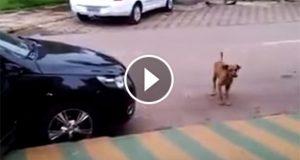En bil parkerte rett foran denne hunden. Men når den hører musikken som kommer fra bilen? Haha!