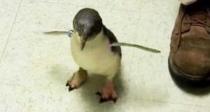 En liten pingvin ser etter forsørgeren sin. Når han finner han, er reaksjonen hans ren glede.