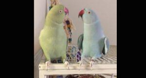 Papegøyebrødre viser sin kjærlighet for hverandre på den søteste måten.