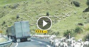 Tusenvis av sauer kommer løpende nedover fjellet – LITT av et syn!