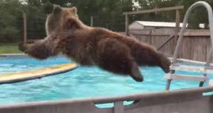 Grizzlybjørn klatrer opp stigen til bassenget – men det neste som skjedde? Helt herlig!