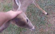 Han fant en hjelpeløs foreldreløs hjort i veien. Følg med når han berører hodet hennes…