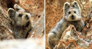 Sjeldent dyr kjent som «den magiske kaninen» er observert for første gang på 20 år.