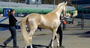 Møt skjønnheten som er så vakker at den kalles for «hesten fra himmelen».