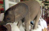 Elefantbabyen følger sin redningskvinne overalt hvor hun går, inkludert sofaen.