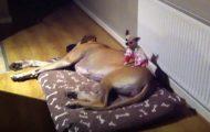 Det eneste denne chihuahuaen vil er å sove på toppen av hennes storesøster.